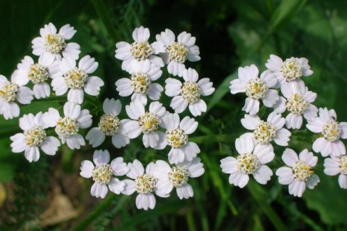 MILLIONS OF LITTLE FLOWERS